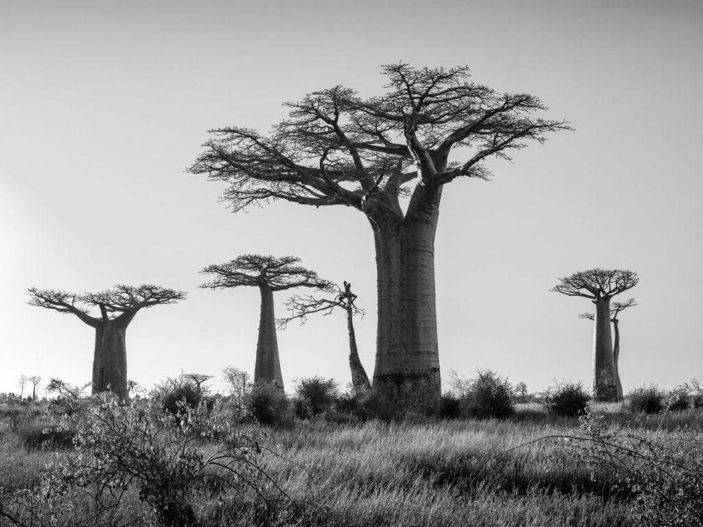 Série-Baobabs-Sur-la-branche--Pierrot-Men-Galerie-21